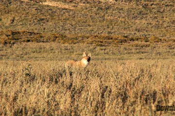 Western Coyote Hunting