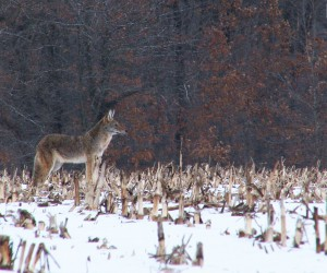 Midwest Coyote Hunting