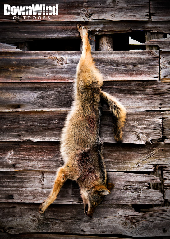 Hanging Coyote